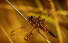 Dragonfly (Delbrckerin) Tags: libelle dragonfly vierfleck makro macro insekt insect tier animal nikond90 tamron90mm