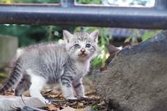 Today's Cat@2016-09-27 (masatsu) Tags: cat thebiggestgroupwithonlycats catspotting pentax mx1
