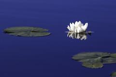 Waterlily (R.Solberg) Tags: waterlily water summer nature norway norge natur vannlilje mirror speiling