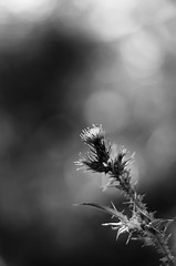prickly (SS) Tags: ss pentax k5 smcpentaxm50mmf17 marche prickly flower plant bokeh verticalformat spring 2016 blackandwhite monochrome outdoor depthoffield smooth fabriano
