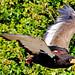 Female Bateleur, Getty in Flight : ダルマワシ、ゲティの飛翔(よこはま動物園ズーラシア、バードショー)