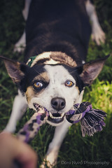 Playtime (doranyiro) Tags: cute dog dogwalk dogportrait dogshelter outdoor nature mix ears funny beauty beautiful eyes canon canon40d concentration contrast portrait animal pet puppy play playing ratterrier terrier tug tugtoy