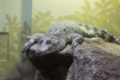 Gator Croc Thing-8.jpg (thekidfromcrumlin) Tags: washingondc dczoo zoo washington districtofcolumbia unitedstates us