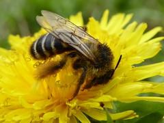 Biene im Winterpelz... (Wallus2010) Tags: biene lwenzahn tz61 makro blume insekt panasonic