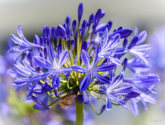 Purple and Green (Jocey K) Tags: christchurch newzealand flowers agapanthus