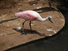 P2230371 (Gareth's Pix) Tags: aviarionacionaldecolombia baru colombia aviario bird