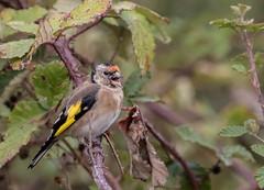 08 10 2016 (cathyk31) Tags: cardueliscarduelis chardonneretlgant europeangoldfinch fringillids passriformes bird oiseau