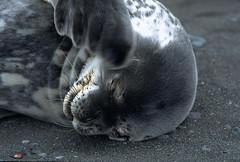 "Weddell Seal (Leptonychotes weddellii) (Gregory ""Slobirdr"" Smith) Tags: leptonychotesweddellii antarctica lemairechannel circumpolar instagramslobirdr gregoryslobirdrsmith"