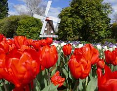 Tiptoe through the tulips! (The Pocket Rocket) Tags: tulips tesselartulipfestival famousflickrfivegroup yarravalley victoria australia dandenongranges silvan
