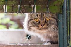 pas l air souriant mon voisin ! (Hlne Baudart) Tags: chat 105mn macro nikon poils