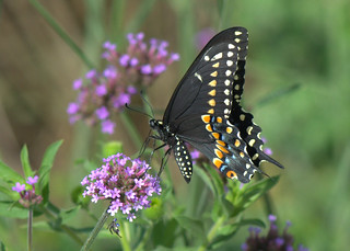 Black Swallowtail on Verbena