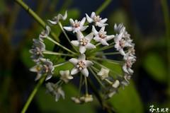 Hoya australis ssp bandaensis (s6168382) Tags:   hoya