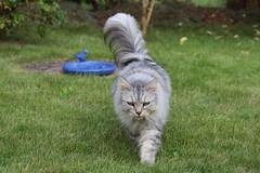 """Schade, keine Vgel an der Vogeltrnke."" (Vasquezz) Tags: katze cat sibirischekatze sibirische sibirisch siberiancat siberian waldkatze forestcat    fussel coth coth5 alittlebeauty sunrays5"