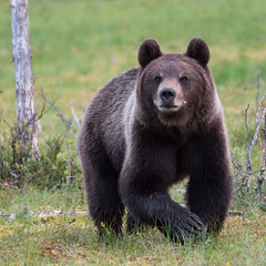 Brown bear ~ Finland (ToriAndrewsPhotography) Tags: brown martinselkosen finland taiga forest photography andrews tori