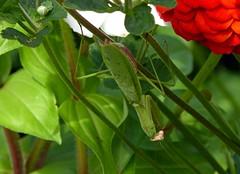 New Position (mudder_bbc) Tags: camouflage mantid prayingmantis arthropod insect