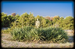plants (Lorenzo D'Agnello) Tags: madeinitaly mare sea sand plants lecciona fiori flower sky blue green oldstyle art freedom air nature real unreal toomuch myway