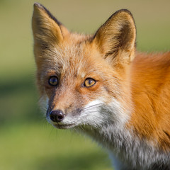 Renard roux - Red fox (Jean-Marc Cossette) Tags: bic animals wildlife redfox renardroux nature