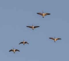 Family, going South. (Omygodtom) Tags: migrate bird geese flying flickr outdoors animalplanet abstract animal natural nature nikon d7100 nikon70300mmvrlens chat nikkor lens blue bokeh