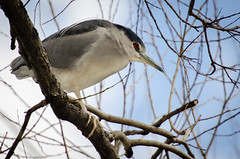Black-Crowned Night Heron (lessnopsmorejmps) Tags: bird birds nikkortc17eii nikond7000 nikkor70200mmf28vrii
