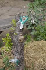 IMG_2062 (ecologycenterberkeley) Tags: garden berkeley spring raw plum permaculture grafting graft ecohouse