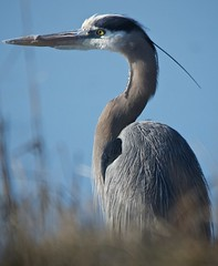 Study in Blue #1 (Feathered Trail Photos) Tags: heron capemay greatblueheron mfcc thegalaxy fabuleuse flickrbirdbrigade buckinghamnaturephotography