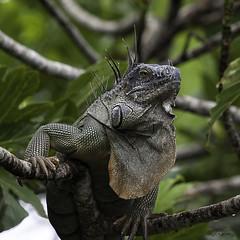 King of his domain (Kadacat (Marlene)) Tags: costarica reptile lizard iguana tortuguero specanimal caravancostaricatour