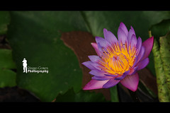 Water Lily (Ringgo Gomez) Tags: nikon105mm macroextreme macrolicious flickrsbest malaysianphotographers macromarvels macrolife nikond700 perfectphotographers sarawakborneo mygearandme