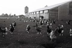 chickens (Timoleon Vieta II) Tags: bw chickens film farm poppys timoleon