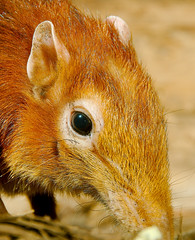 Black and Rufous Giant Elephant-Shrew WLD_4393 (guppiecat) Tags: cheetah elephasmaximus acinonyxjubatus asiaticelephant bandedmongoose damagazelle mungosmungo gazelladama rhynchocyonpetersi blackandrufousgiantelephantshrew