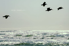 tofino tranquility. (kvdl) Tags: ocean water birds march waves longbeach tofino seabirds kvdl canonef70200mmf28lisiiusm tgam:photodesk=water2013