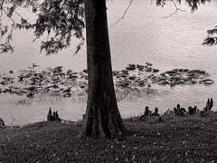Cypress with knees (ka2rina) Tags: lake water cypress knees blacknwhite