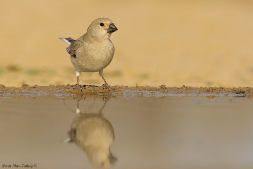 Desert Finch - (female) Rhodospiza obsoleta / Rhodopechys obsoletus)