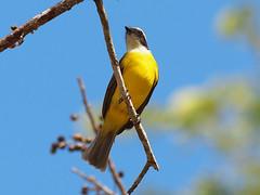 Social Flycatcher (Oleg Chernyshov) Tags: chichenitza socialflycatcher myiozetetessimilis birdsmexico vermilioncrownedflycatcher myiozetetessimilistexensis