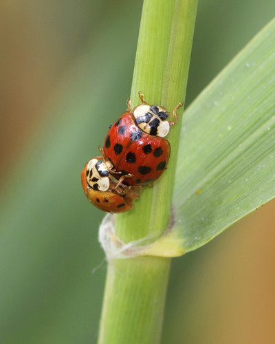 Asian Ladybird Beetles (Mating)