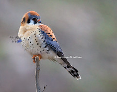 American Kestrel (Daryl L. Hunter - The Hole Picture) Tags: raptor birdsofprey americankestrel colorfulamericankestrelidahoswanvalleyswanvalleyunitedstatesusa