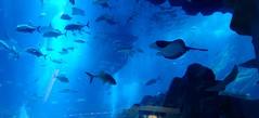 IMG_0917 (shirokami85) Tags: white black animals penguins dubai sony sharks fishes burj rx100 khaleefa