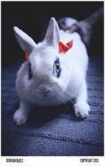 Attila (igeorgakoudis) Tags: rabbit bunny nature animal pentax dwarfrabbit m42 flektogon cz manual manualfocus lapin carlzeiss rongeur carlzeissjena primelenses κουνέλι fixedfocallength lapinnain manuallenses carlzeissflektogon pentaxart pentaxk5 georgakoudis