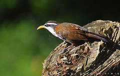Birds of Sri Lanka , Species No 123 (Sara-D) Tags: nature birds animals forest asia wildlife aves sl lanka srilanka ceylon lk srilankan wildanimals southasia sarad serendib diyathalawa asianwildlife saranga birdsofsrilanka birdsofsouthasia dealwis theimagesofsrilanka sarangadeva