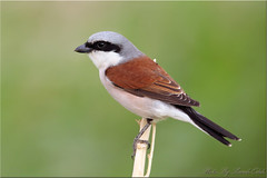 Red-backed shrike (male)-  - (Sameh Odeh) Tags: red canon east jordan middle backed shrike 800mm  lanius collurio   qatarbirds    samehodeh
