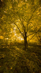 'Forest Glade' gardens, Mount Macedon (T. Flack) Tags: blue autumn light panorama colors yellow colours mt australia victoria mount filter stitched circular cpl cokin polarizing macedon varicolour z173 z163