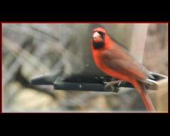 Soft Red Bird (gailpiland) Tags: bird photo cardinal onblack autofocus thegalaxy flickraward gailpiland ringexcellence flickrstruereflection1 rememberthatmomentlevel1 rememberthatmomentlevel2 rememberthatmomentl1 redbirdsoftfocus