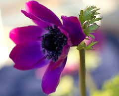 anemone (explored) (Dawn Porter) Tags:
