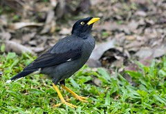 J77A3456 -- Upward-looking Myna in the Botanical Garden in Singapore (Nils Axel Braathen -- Thanks a lot for +200K views) Tags: nature birds singapore wildlife fugler oiseaux minah myna mynah vogeln