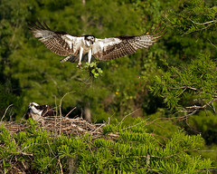 Osprey Lands with Nesting Materials (DMF Photography) Tags: nature birds inflight florida wildlife birding lakes if birdwatching raptors osprey birdsofprey nesting verobeach nests centralflorida flightshots nestingmaterials bluecypresslake