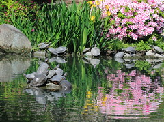 Tortues et Reflets - Jardin Japonais - Temple T-ji - Kyoto - Japon (Micky75017) Tags: voyage trip travel viaje flower reflection nature fleur japan canon garden temple mirror michael photo kyoto photographie image turtle spiegel natur picture jardin reflet reflect jardim 7d   japo  miroir blume  garten spiegelbild japon  tortue imagen  japonais toji schildkrte         jardinjaponais japonia  japonya     reflecto      ducloux   micky75017