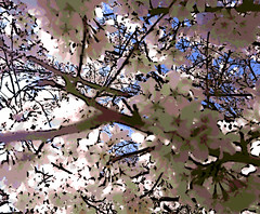 Spring Blossoms (Digital Woodcut) (randubnick) Tags: art photography spring photograph aehousman blossomingtrees digitalwoodcut painter12