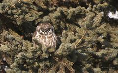 Boreal Owl (Lake Vermilion1) Tags: tree cute bird minnesota pine feathers raptor owl lakesuperior