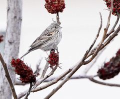 Vesper Sparrow (Austin H.) Tags: colorado fortcollins coloradowildlife