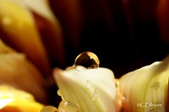 Tropfen  / drops (5) (Ellenore56) Tags: light sunlight inspiration color colour detail macro reflection water floral diamonds garden botanical licht photo flora focus waterdrop wasser foto blossom magic perspective drop diamond petal explore bloom vista droplet imagination gazania outlook moment sparkler makro blte magical farbe reflexion garten flowerpower perspektive reflektion wassertropfen tropfen dud diamant augenblick fokus florescence waterdroplet botanik bltenblatt trpfchen faszination diamanten sonnenlicht treasureflower timeofday explored gazanie mittagsgold sonnentaler bltenzauber tageszeit pflanzenwelt flowerleaf mittagsgoldblume sonya350 ellenore56 04052013