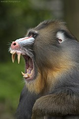 Mandrill - Mandril (Berendje Photography1) Tags: animal animals tooth teeth angry dieren aap mandrill marcoborsato ouwehandsdierenpark animalphotography dierenfotografie ouwehandszoo ouwehandszoorhenenthenetherlands